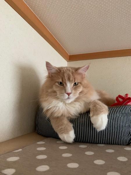 猫 メインクーン バロンの写真