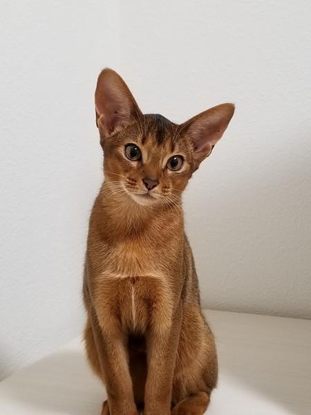 猫 アビシニアン ここの写真