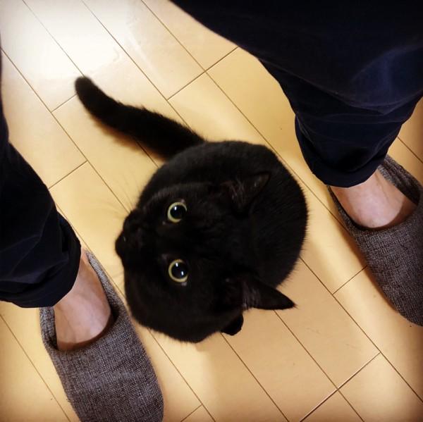 猫 スコティッシュストレート クロの写真