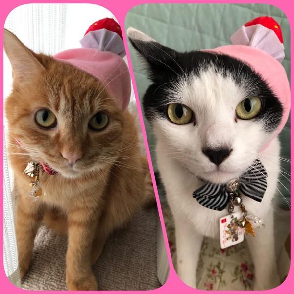 猫 雑種(ミックス) ミルク、ココアの写真