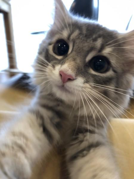 猫 ノルウェージャンフォレストキャット キュリィの写真