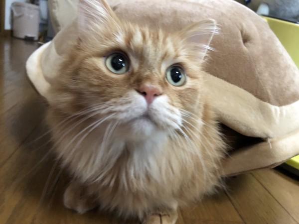 猫 マンチカン りゅうの写真