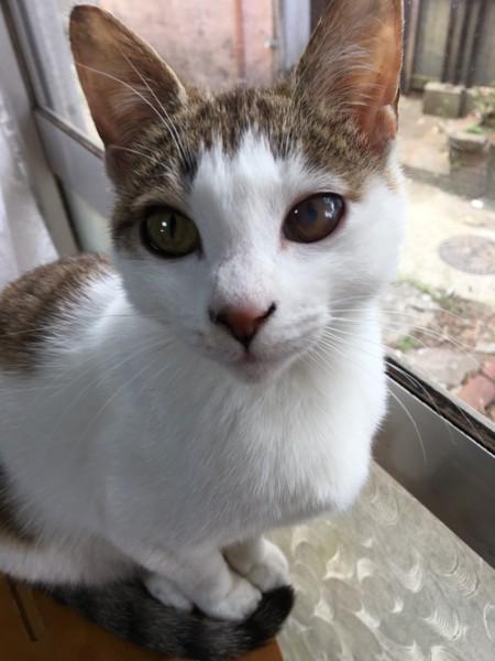 猫 キジシロ 梅子の写真