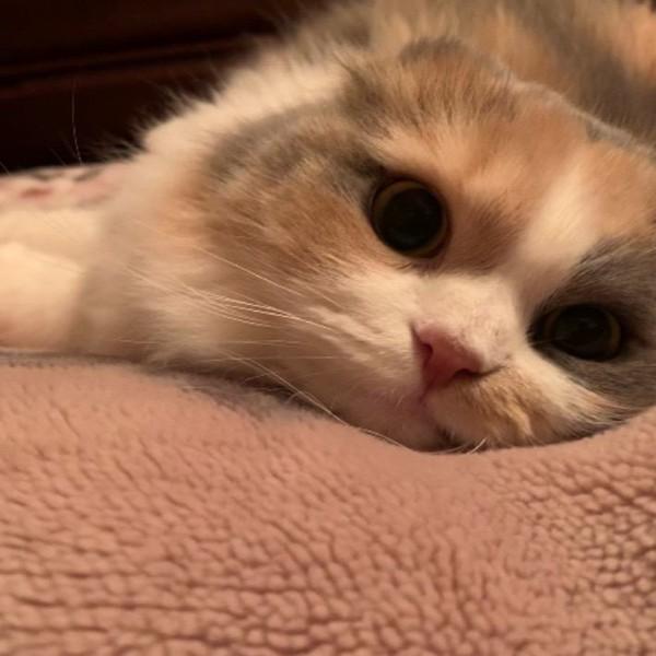 猫 スコティッシュフォールド 姫の写真