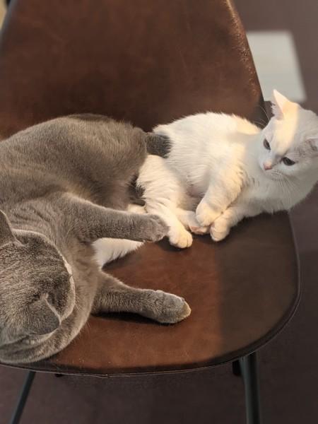 猫 ブリティッシュショートヘア モンちゃん&リムの写真