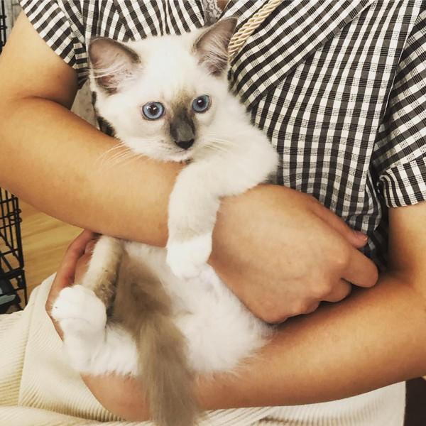 猫 ラグドール 雫の写真