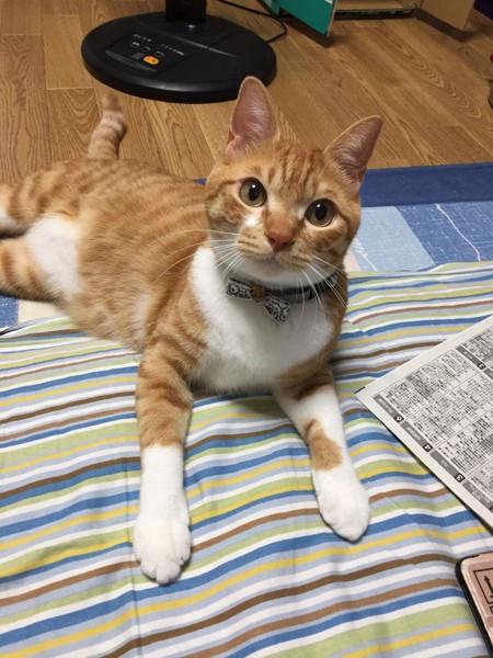 猫 茶白トラ ネイ治郎の写真