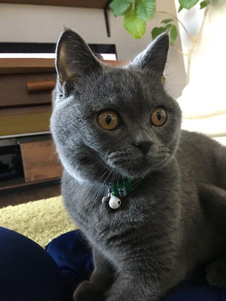 猫 ブリティッシュショートヘア りーの写真