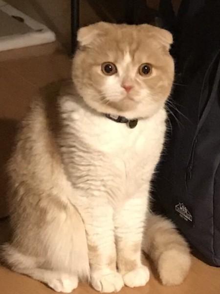 猫 スコティッシュフォールド 茶々丸の写真