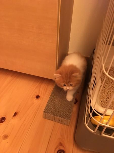 猫 マンチカン まめちの写真