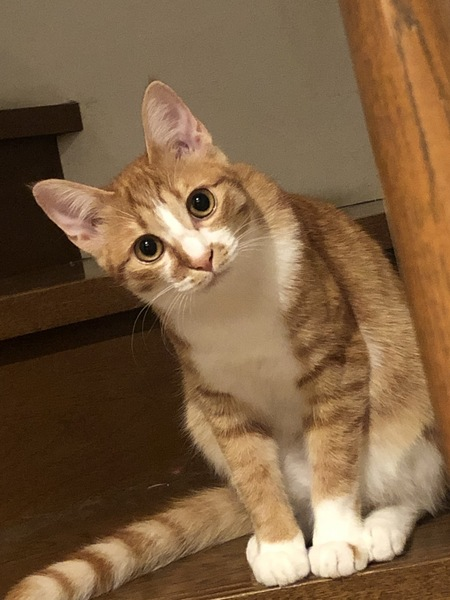 猫 茶トラ 紗流の写真