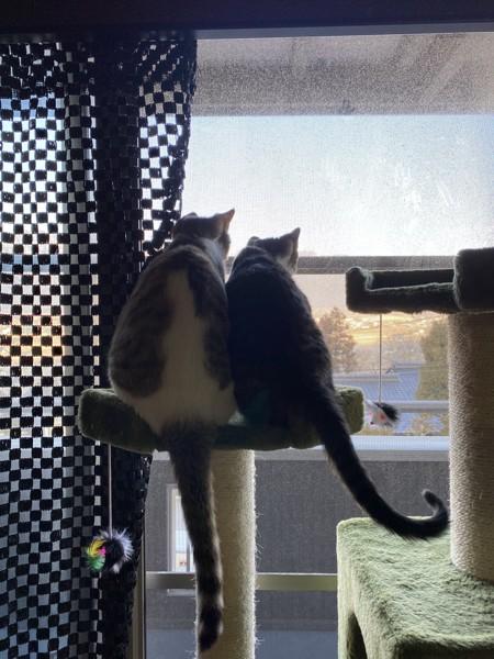 猫 サバシロ ちょもにぃ&こぶの写真