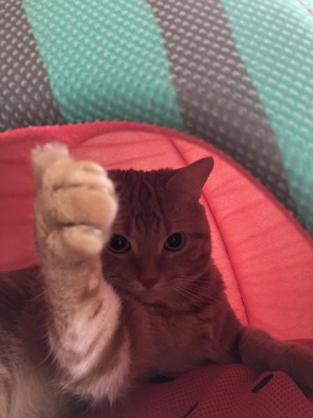 猫 マンチカン バロンの写真