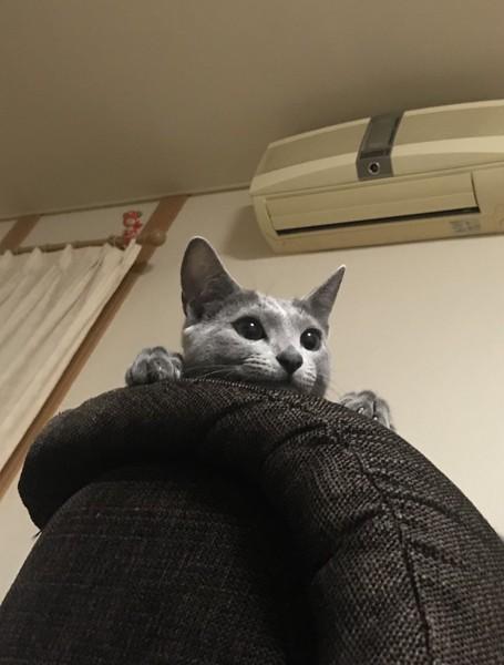 猫 ロシアンブルー ろっちゃんの写真