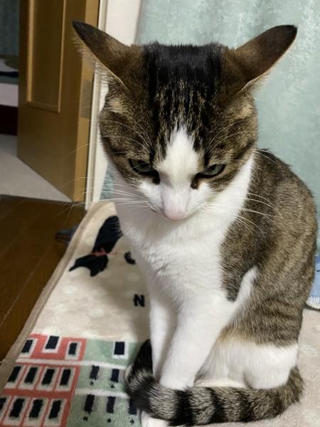 猫 キジシロ あんずの写真