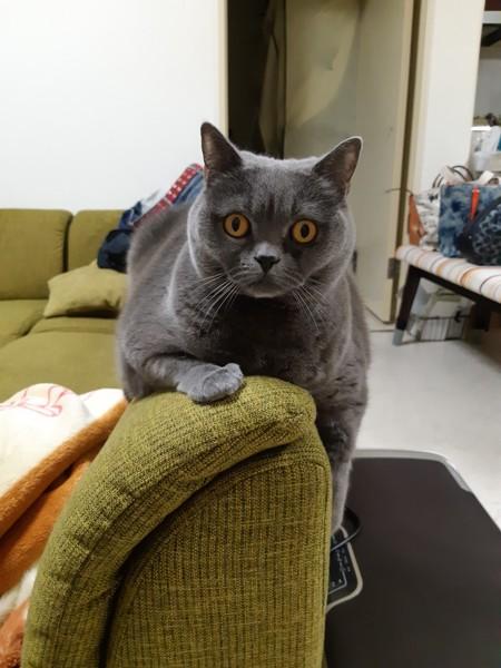 猫 ブリティッシュショートヘア あんずの写真