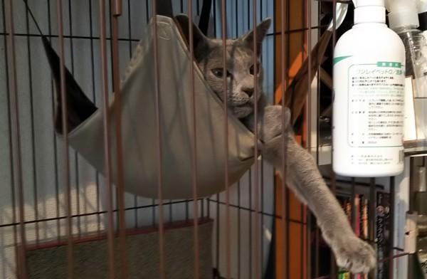 猫 ロシアンブルー ロシアの写真