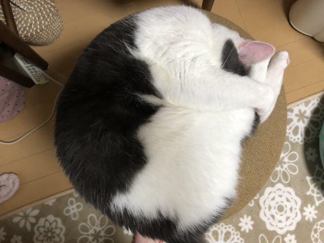 猫 スコティッシュフォールド りこちゃんの写真
