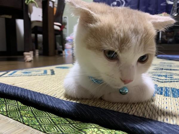 猫 スコティッシュフォールド まっちゃの写真