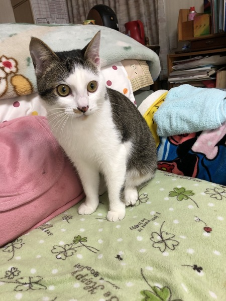 猫 アメリカンボブテイル くうちゃんの写真