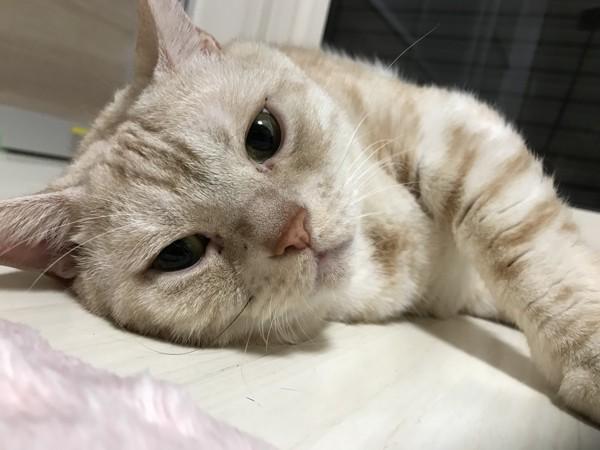 猫 アメリカンショートヘア ミシェルの写真