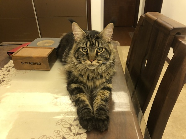 猫 メインクーン Leoの写真