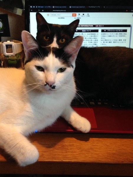 猫 白猫 れおの写真