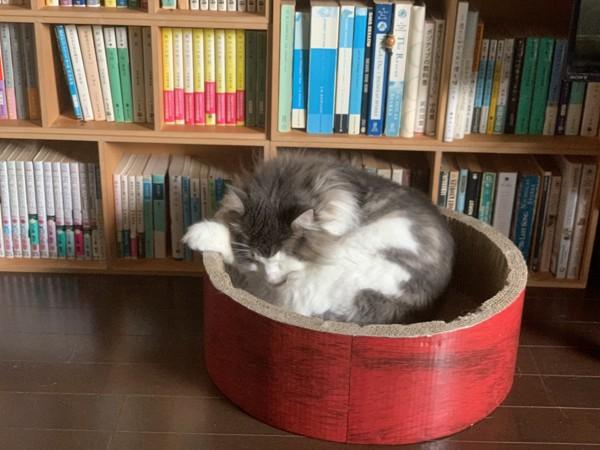 猫 ノルウェージャンフォレストキャット ルースの写真
