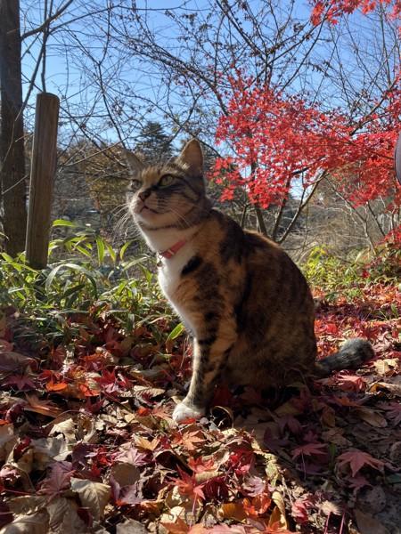 猫 雑種 たまの写真