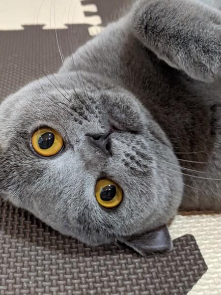猫 ブリティッシュショートヘア モンチの写真