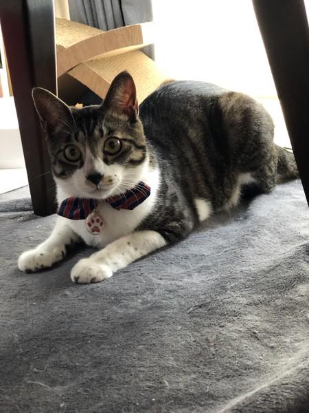 猫 キジシロ ケイの写真