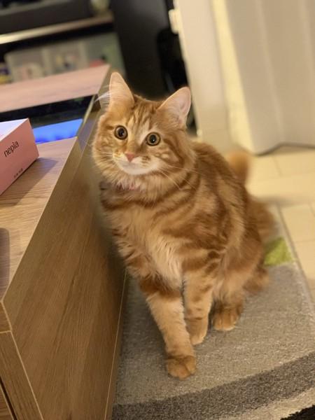 猫 メインクーン みたらし団子の写真