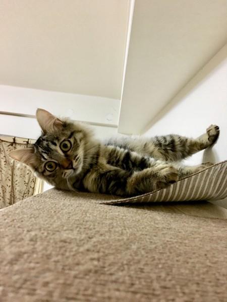 猫 サバトラ チッチの写真