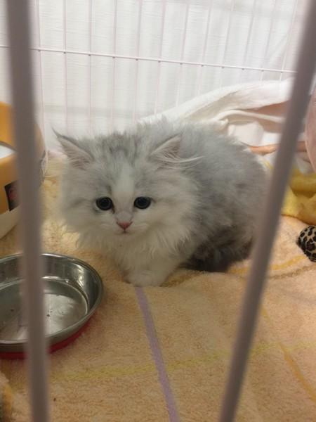 もふもふな子猫のサイベリアン