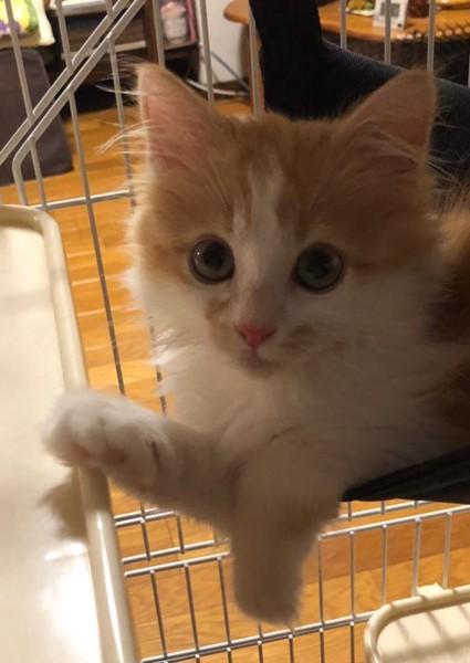 猫 サイベリアン ミントの写真
