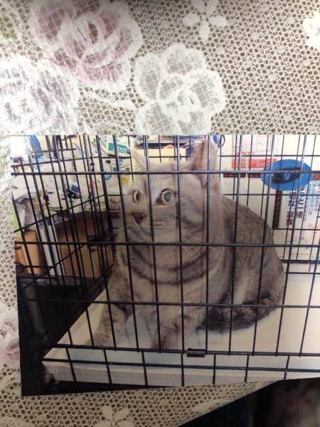 猫 雑種(ミックス) しんのすけの写真