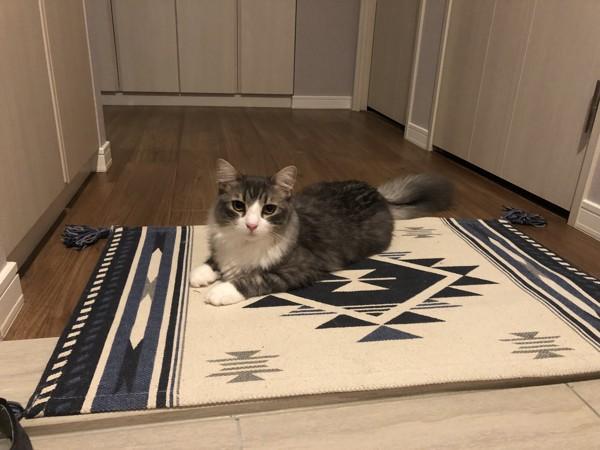 猫 ノルウェージャンフォレストキャット 門松ちゅの写真
