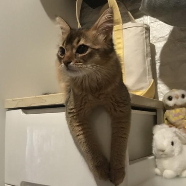 猫 ソマリ リルルの写真