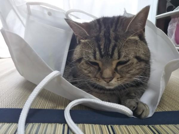 猫 アメリカンショートヘア チャコちゃんの写真