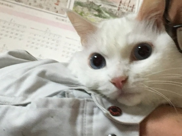 猫 白猫 ももの写真
