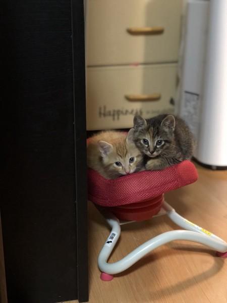 猫 雑種(ミックス) チャオ&シャオの写真
