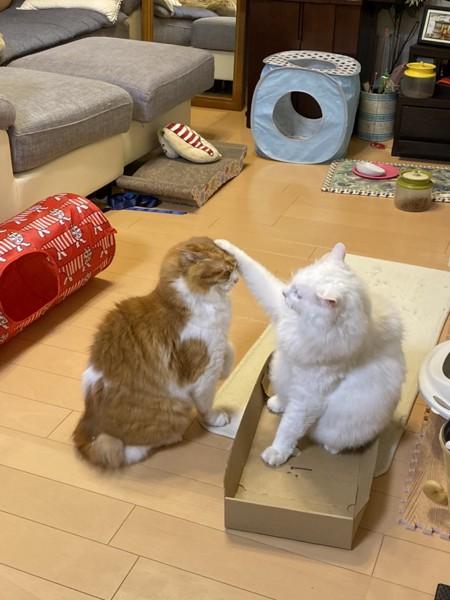 猫 雑種(ミックス) めかぶ、たらこの写真
