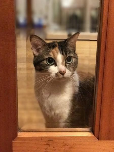 猫 三毛猫 みこちゃんの写真