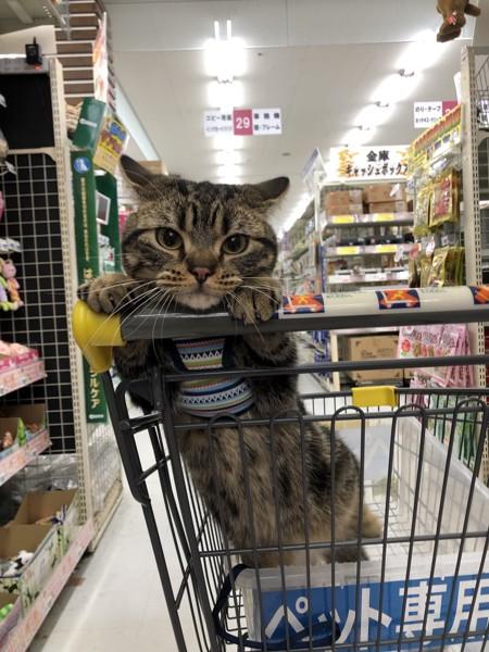 猫 アメリカンショートヘア ライルの写真