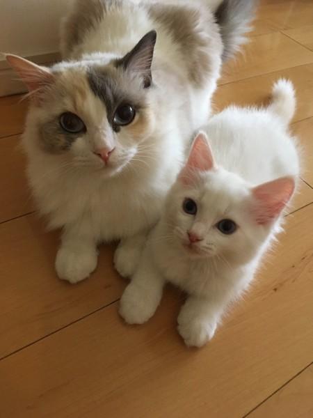 猫 ラグドール タンザーの写真