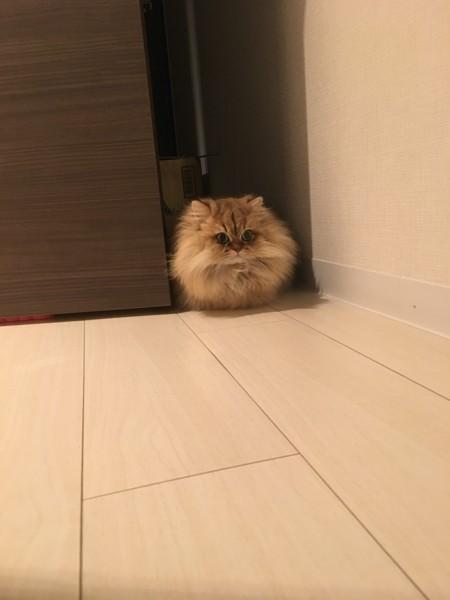 猫 ペルシャ まろちゃんの写真