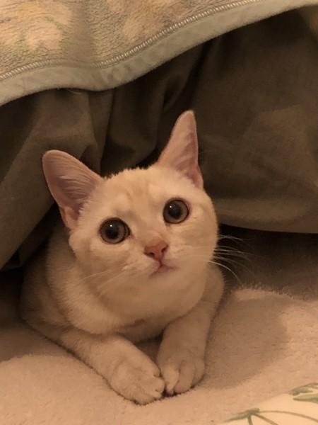 猫 アメリカンショートヘア たべちゃんの写真