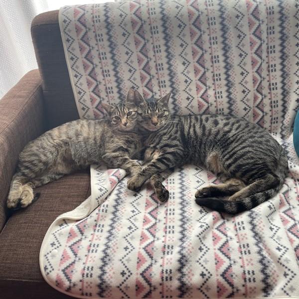 猫 キジトラ リン(左)コタロー(右)の写真