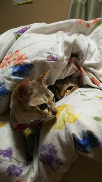 猫 シンガプーラ だん、むぎの写真