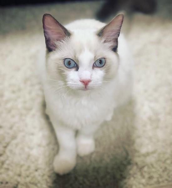 猫 ラグドール ルアくんの写真
